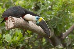 Toucan (toco Ramphastos) сидя на ветви дерева в тропической передней части Стоковое Изображение