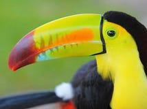 Toucan. Toucan представленное счет килем, от Центральной Америки. Макрос Стоковое Изображение RF