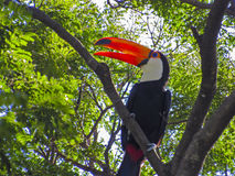Toucan Royalty Free Stock Photography