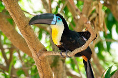 Toucan in tree Stock Images