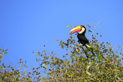 Toucan in Tree. Toco Toucan aka Common Toucan, Giant Toucan Eating Berries in the Top of a Tree. Rio Claro, Pantal, Brazil royalty free stock photography