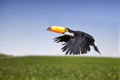 Toucan, a tropical bird Stock Photography