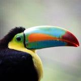 toucan tucan 库存图片