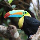 toucan tucan 免版税库存照片