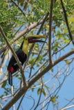 Toucan tweeting. In Manuel Antonio Natural Park Stock Photos
