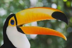 Toucan variopinto (toco di Ramphastos) immagini stock libere da diritti