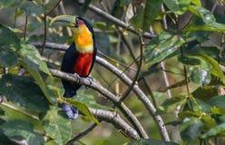 toucan Vert-affiché Photos libres de droits