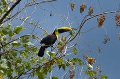 Toucan vert en Osa Peninsula, Costa Rica Image stock