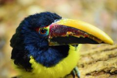 Toucan with Vibrant Colors Royalty Free Stock Image