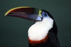 toucan vitellinus för ramphastos Royaltyfri Foto