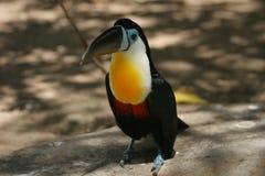 Toucan Vogel, der auf dem Boden sitzt Stockbilder