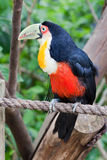 Toucan Vogel in Gramado Brasilien Lizenzfreie Stockfotografie