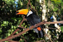 Toucan. Royalty Free Stock Image