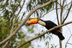 Toucan watching on a tree branch in the wild Royalty Free Stock Photography