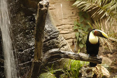 Toucan waterfall. Toucan at zoo with waterfall royalty free stock photography