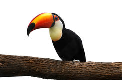 Toucan on branch Royalty Free Stock Images