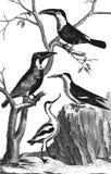 Toucan. White Gorge. Avocet. Bec - scissors. Hornbill. Vintage engraved illustration. Diderot and d'Alembert encyclopedia (1751-1780 Royalty Free Stock Image