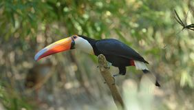 Toucan in the Wild Stock Image
