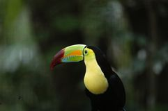 Toucan in Zoo Stock Photo