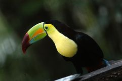 Toucan in Zoo Stock Photography