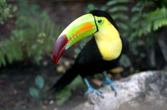 Toucan in Zoo. Kee billed Toucan Ramphastos sulfuratus colorful Tucan bird in zoo Stock Images