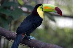 Toucan in Zoo Royalty Free Stock Photo