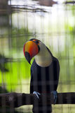 Toucan in Zoo Royalty Free Stock Photography