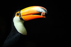 Toucan_bird Royalty Free Stock Image