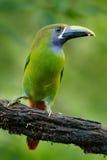 Toucanet Bleu-throated, prasinus d'Aulacorhynchus, oiseau vert de toucan dans l'habitat de nature, animal exotique dans la forêt  image libre de droits