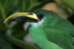 Toucanet verde smeraldo fotografia stock