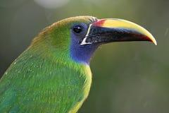 Toucanet verde smeraldo - Costa Rica Fotografia Stock Libera da Diritti