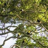6 Toucans в дереве Стоковая Фотография RF