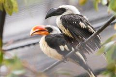 Toucans в дожде Стоковое Фото