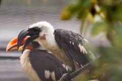 Toucans в дожде Стоковое Изображение