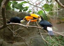 toucans жизни Стоковые Фото