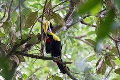Toucans подклювиь каштана в Коста-Рика Стоковая Фотография