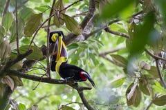 Toucans подклювиь каштана в Коста-Рика Стоковое Изображение RF