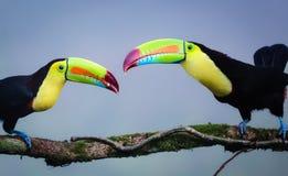 Toucans представленное счет килем Стоковые Изображения RF
