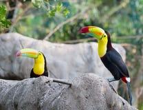 2 toucans сидя на камне Стоковые Фото