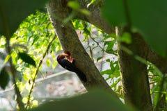 Toucans члены Ramphastidae семьи близко воробьинообразного Стоковые Изображения