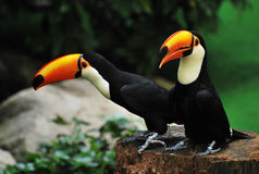 Toucans Stock Image