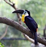 toucans Стоковые Изображения RF