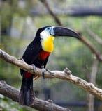 toucans Стоковое Изображение RF