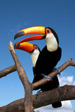 Toucans Fotos de Stock Royalty Free