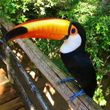 Toucans stock photography