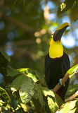 Toucans Royalty Free Stock Image