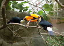 Toucans life. Two toucans playing on three stock photos
