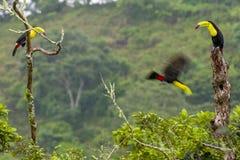 3 toucans quille-affichés sur des tronçons d'arbre photos stock