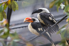 Toucans in rain Stock Photography