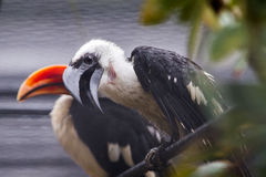 Toucans in rain Royalty Free Stock Photography